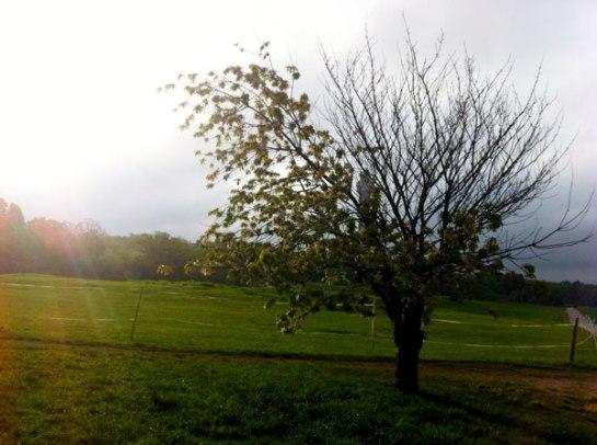 Det här trädet har jag funderat mycket över under maj - varför väljer det att bara ha blad på hälften av grenarna?..